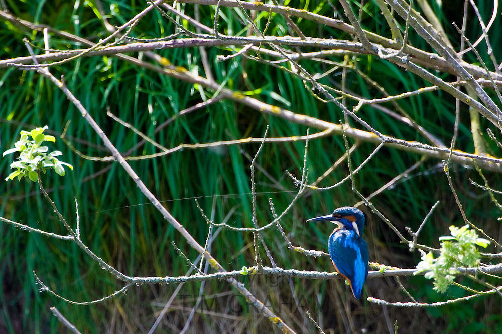 Adult kingfisher on tree branch, river scene, Gloucestershire