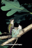 01162-02420 Ruby-throated Hummingbird (Archilochus colubris) adult feeding nestling, Marion Co.   IL