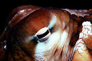UNDERWATER MARINE LIFE HAWAII Octopus, detail of eye