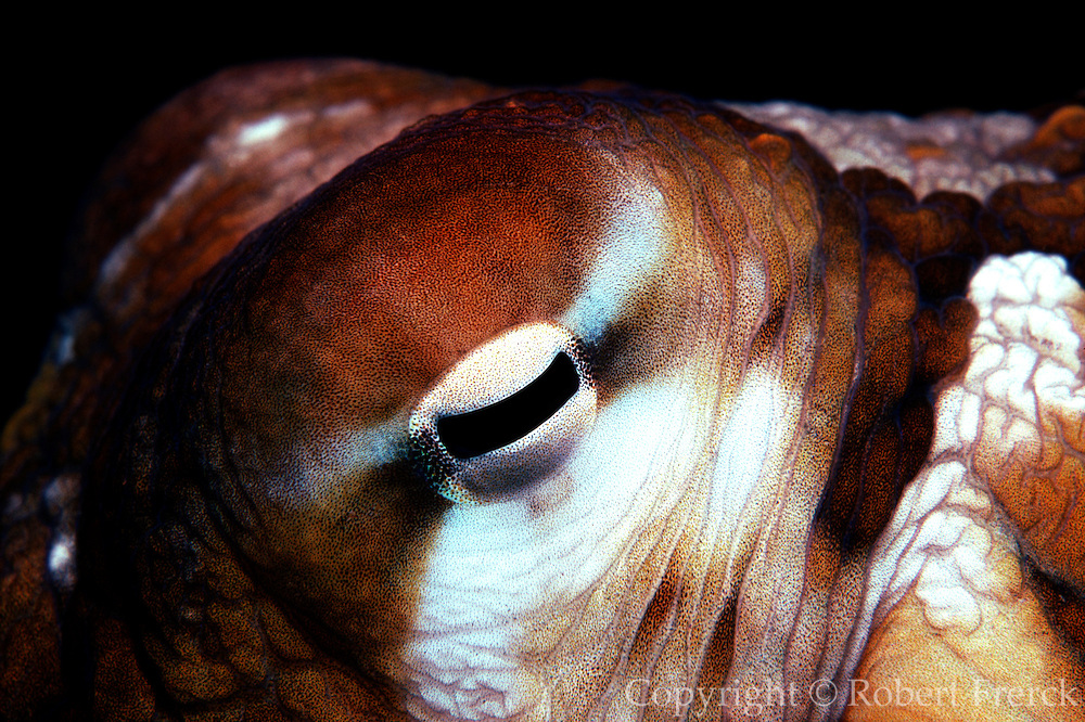 UNDERWATER MARINE LIFE HAWAII Octopus, detail of eye