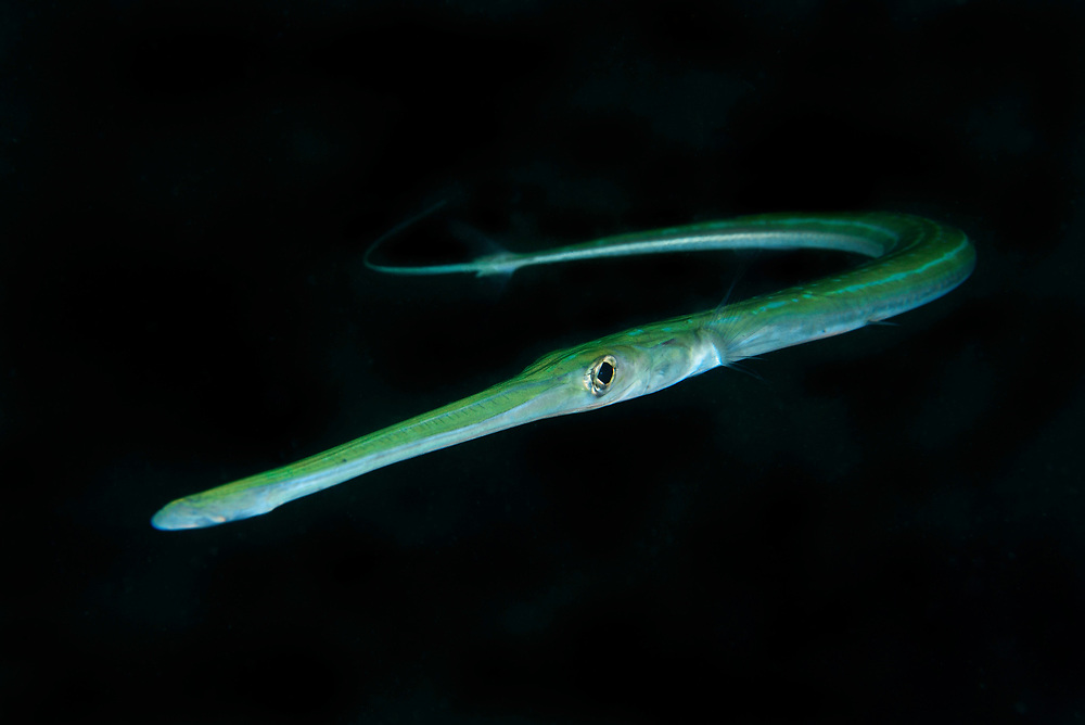 Bluespotted cornetfish, or smooth cornetfish, or smooth flutemouth, Fistularia commersonii. Night dive outside Hong Kong University of Science and Technology, Tai Po Tsai, Sai kung, Hong Kong, China. This Image is a part of the mission Wild Sea Hong Kong (Wild Wonders of China).