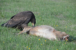 Immature Bald Eagle (Haliaeetus leucocephalus) and Black-tailed (Odocoileus hemionus columbianus) Deer Fawn Carcass, Orcas Island, Washington, US