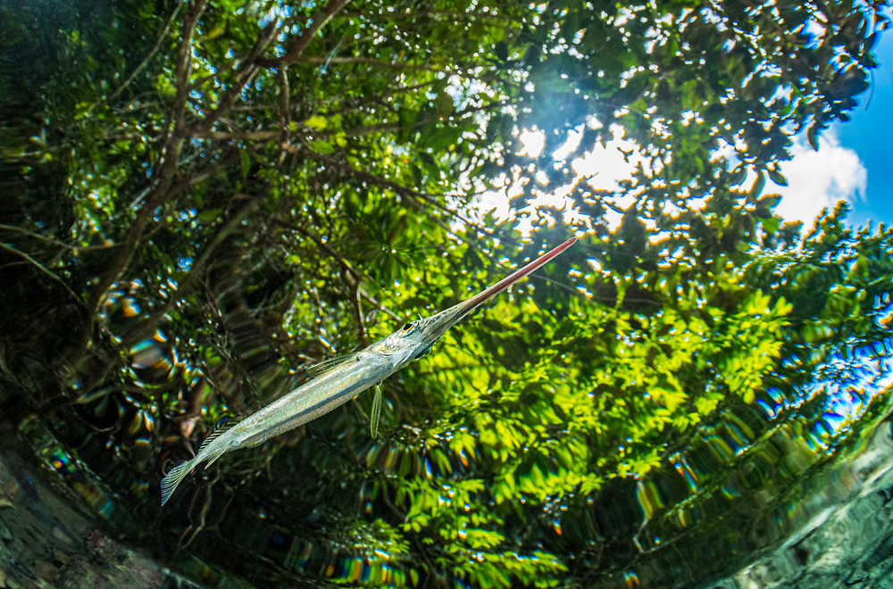 A halfbeak (Hemiramphidae) near the surface in Palau.