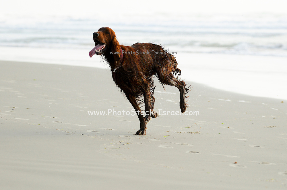 Israel, Caesarea, Wet dog running on the beach after a dip in the Mediterranean sea