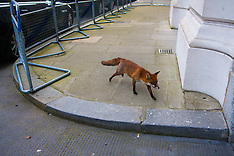 2015-01-27 Urban fox sequence in Downing Street