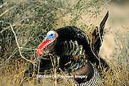 """00845-04701 """"Rio Grande"""" Wild Turkey (Meleagris gallopavo) male/gobbler strutting,  Starr Co.  TX"""