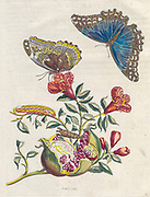 pomegranate Plant, fruit and butterfly from Metamorphosis insectorum Surinamensium (Surinam insects) a hand coloured 18th century Book by Maria Sibylla Merian published in Amsterdam in 1719