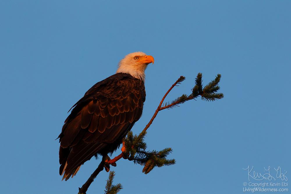 A bald eagle (Haliaeetus leucocephalus) hunts at sunrise from a perch in a tree in Heritage Park, Kirkland, Washington.