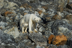 Polar bear (Ursus maritimus) mother and cub, Spitsbergen, Svalbard