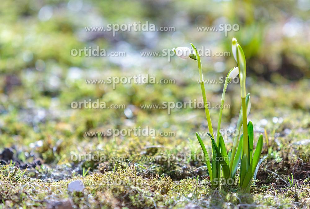 THEMENBILD - die Blüte der Frühlingsknotenblumen auf einer Lichtung im Wald, aufgenommen am 02. April 2018, Kaprun, Österreich // Spring knot flowers on a glade in the forest on 2018/04/02, Kaprun, Austria. EXPA Pictures © 2018, PhotoCredit: EXPA/ Stefanie Oberhauser