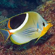 Saddled Butterflyfish inhabit reefs. Picture taken Solomon Islands.