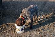 Pointer dog Max has a welcome drink of water out on the North Dakota grasslands after hunting upland game birds with his owner Joel Baldwin, such as grouse. Max is a trained pointer. Working dogs work extremely hard both retrieving birds such as pheasant or grouse once shot, but also flushing birds out from the undergrowth.