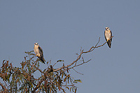 The black-winged kite (Elanus caeruleus), also known as the black-shouldered kite is a small diurnal bird of prey in the family Accipitridae best known for its habit of hovering over open grasslands and paddies of Thailand.