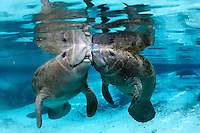 Florida manatee, Trichechus manatus latirostris, a subspecies of the West Indian manatee, endangered. A series of an adult female manatee who checks in on a male calf that is alone in the springs. There is tender tactile interaction, socialization, and evident caring. The two manatees engage with snouts touching in a form of manatee kissing. Horizontal orientation with blue water from the spring and other manatee below with reflections, and sun rays. Three Sisters Springs, Crystal River National Wildlife Refuge, Kings Bay, Crystal River, Citrus County, Florida USA.