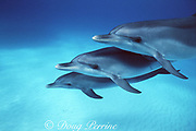 juvenile Atlantic spotted dolphins, Stenella frontalis, White Sand Ridge, Little Bahama Bank, Bahamas ( Western North Atlantic Ocean )