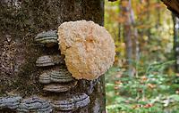 Hericium erinaceus, Hedgehog mushroom, polypore fungi, beech (Fagus sylvatica) forest in Plitvice National Park, Croatia