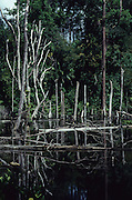 SWAMP, MALAYSIA. Sarawak, Borneo, South East Asia. Swamp with decaying trees and logsTropical rainforest and one of the world's richest, oldest eco-systems, flora and fauna, under threat from development, logging and deforestation. Home to indigenous Dayak native tribal peoples, farming by slash and burn cultivation, fishing and hunting wild boar. Home to the Penan, traditional nomadic hunter-gatherers, of whom only one thousand survive, eating roots, and hunting wild animals with blowpipes. Animists, Christians, they still practice traditional medicine from herbs and plants. Native people have mounted protests and blockades against logging concessions, many have been arrested and imprisoned.