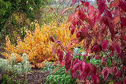 Cornus sericea 'Hedgerows Gold' with Cornus sanguinea 'Midwinter Fire', Euphorbia characias 'Tasmanian Tiger' and Cynara cardunculus - cardoon