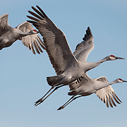 Sandhill cranes (Grus canadensis). Bosque del Apache National Wildlife Refuge, New Mexico