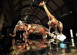 © Licensed to London News Pictures. 03/04/2012. London, UK. Anna Rain looks at the elephant and giraffe exhibit in one of the museum's halls. The intricate biology and physiology of animals can be explored after the process of Plastination at a new exhibition. The launch of The Natural History Museum's Animal Inside Out exhibition. The exhibition is the UK premiere from the team behind Gunther von Hagens' Body Worlds shows, with almost 100 specimens on show. Animal Inside Out runs from April 6 April to September 16 at the Natural History Museum, London. Photo credit : Stephen SImpson/LNP