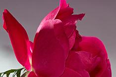 Crimped Rose