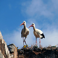 Africa, Morocco, Rabat. Nesting storks at the ruins of Chellah in Rabat.