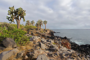 The shore of the island of Santa Fe, Galapagos, with the giant Opuntia cactus (Opuntia echios var. barringtonensis) an endemic subspecies to the island.