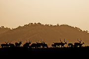 Spotted Deer - Corbett Park, India