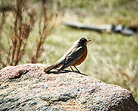 American Robin. Rocky Mountain National Park. Image taken with a Nikon D300  camera and 80-400 mm VR lens