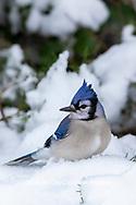 01288-05818 Blue Jay (Cyanocitta cristata) in Juniper Tree in winter Marion Co. IL