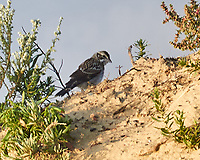 Lark Sparrow (Chondestes grammacus). Theodore Roosevelt National Park, North Dakota. Image taken with a Nikon D300 camera and 18-200 mm VR lens.