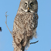 Great gray owl (Strix nebulosa) perched in a tree, hunting. The pattern on its feathers is giving it excellent camouflage. Northern Minnesota