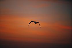 THEMENBILD - eine Moewe waehrend des Sonnenaufgangs am Strand von San Destin, aufgenommen am 11.08.2019, San Destin, Vereinigte Staaten von Amerika // a seagull during the sunrise on the beach of San Destin, San Destin, United States of America on 2019/08/11. EXPA Pictures © 2019, PhotoCredit: EXPA/ Florian Schroetter