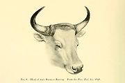 Head of a Burmese banteng (Bos javanicus birmanicus Here as Bos sondaicus birmanicus) colour illustration From the book ' Wild oxen, sheep & goats of all lands, living and extinct ' by Richard Lydekker (1849-1915) Published in 1898 by Rowland Ward, London
