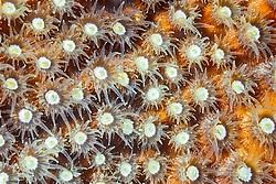 star coral, Montastrea sp., extending polyps to feed on plankton at night, Cayman Brac, Cayman Islands, Caribbean Sea, Atlantic Ocean