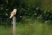 Barn owl (Tyto alba). Arne, Dorset, UK.