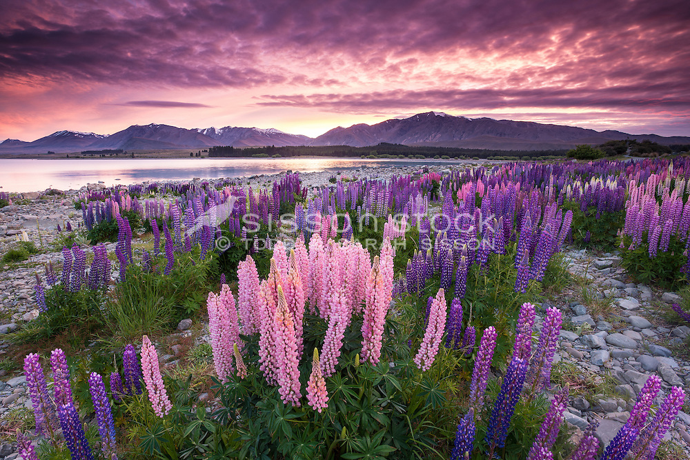 Lake Tekapo Lupins, Sunrise, Mackenzie Country, New Zealand - stock photo, canvas, fine art print
