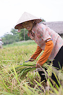 A young woman harvesting rice.