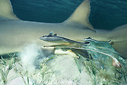 tail of pup protrudes between  pelvic fins of mother during live birth of lemon shark, Negaprion brevirostris, remoras stay close at hand - they will eat the afterbirth, Bimini, Bahamas ( Western Atlantic Ocean )