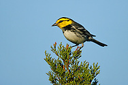 Golden-cheeked Warbler - Dendroica chrysoparia - female
