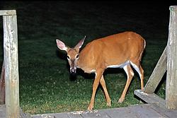 White-tailed Deer At Night