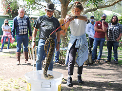 South Africa - Cape Town - 24 October 2020 -  African Snake Bite Institute held a Snake Awareness & Venomous Snake Handling course on Saturday at Butterfly world near Klapmuts.  People who took part in the course were taught what to do when there is a snake encounter, how to identify the snake and how to safely remove it from the premises. The course was aimed at beginners and they were given a chance to use snake tongs and hooks to move snakes around. The course was presented by Johan Marais, one of Africa's leading herpetologists with over 40 years experience. In this picture a Puff adder is lifted from the ground with a snake hook. Picture Henk Kruger/African News Agency (ANA)