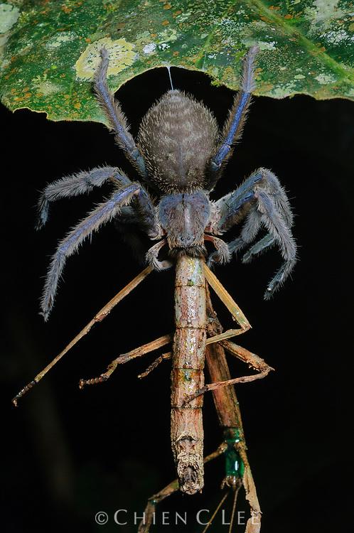 This large Huntsman spider (Gnathopalystes sp.) has captured a walking stick (Hermagoras hosei). Mulu National Park, Sarawak, Malaysia (Borneo).