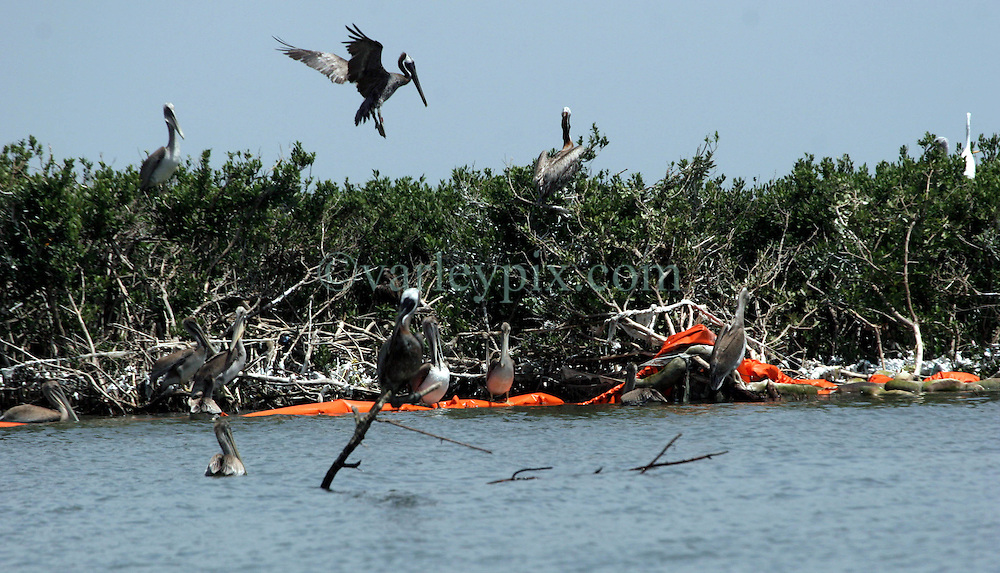 23 July 2010. Cat Islands. Barataria Bay near Grand Isle, Louisiana. <br /> Oil containment hard boom washed ashore in the middle of bird nesting areas on one of the Cat islands near Grand Isle. The boom appears to be mostly clean and free from oil, but the boom itself has now become the problem as it interferes with nesting brown pelicans and other birds. Minor storms and swell easily remove the boom from flimsy moorings creating yet another problem in the region. Stakes tethering boom to the bay floor are unlikely to be removed, causing yet more obstacles for shrimp fishermen to tear their nets on when shrimping is permitted to resume. The entire area appears to be relatively clean of oil. Perhaps the area is witnessing the beginning of the end of the disaster from BP's massive oil spill in the Gulf of Mexico? It will be many years before the long term effects of the spill are known and a tropical storm or hurricane could still bring large slicks of oil ashore. <br /> Photo credit; Charlie Varley/varleypix.com