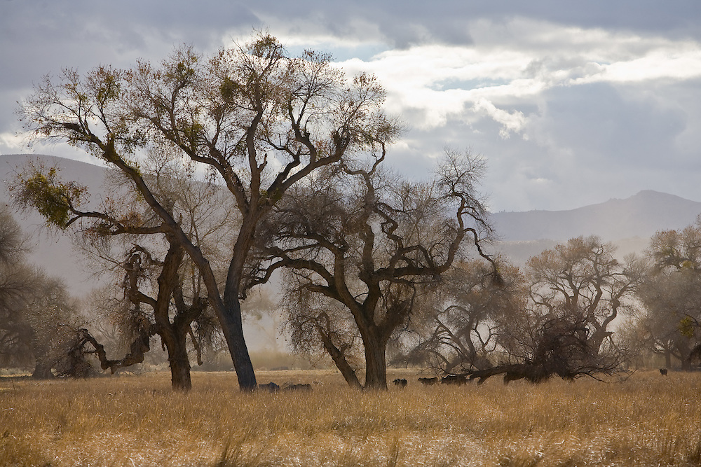 Spring wind storms creates mysterious lighting with California Oak Trees Quercus agrifolia in Central California