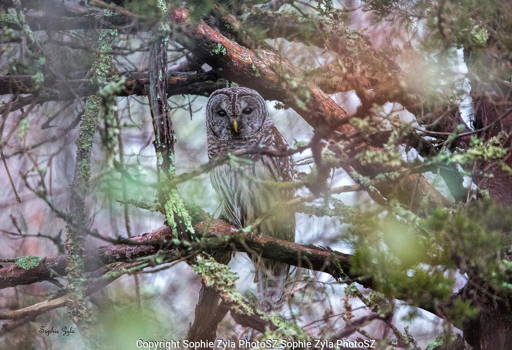 Barred Owl Hiding