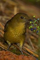 A Vogelkopf Bowerbird.(Amblyornis inoratus) holding some berries in his beak.