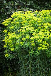Euphorbia cornigera 'Goldener Turm'