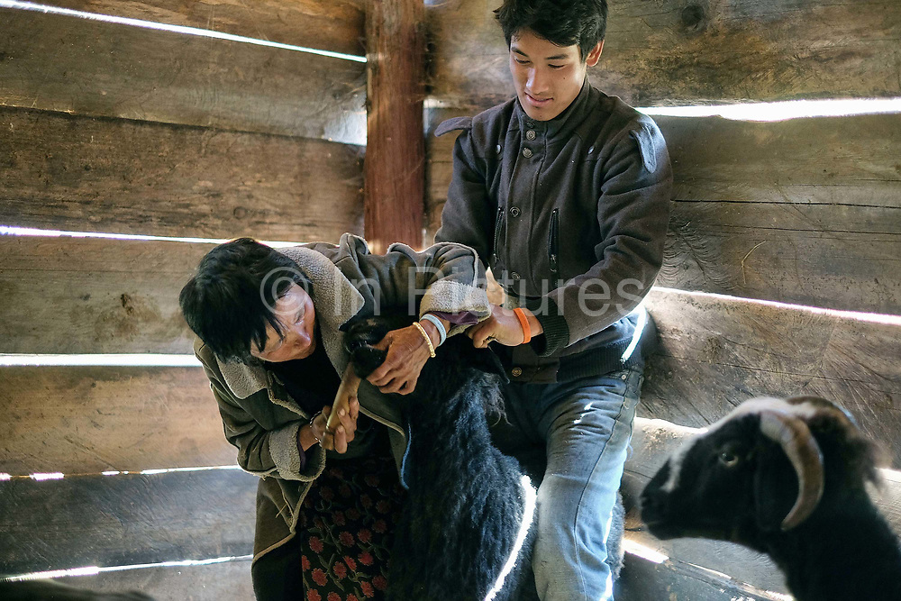 Sheep farmers dosing their sheep with salt using a bamboo tube which they do every day, Chubja, Bhutan. With the easy availability of commercially processed wool and other alternatives for fabric for weaving, and the lack of human resources to look after the sheep, farming of sheep has gradually been in decline in Bhutan.