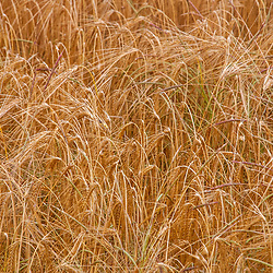 Plantação de trigo (lavoura) fotografado na cidade de Lauf an der Pegnitz, Alemanha. Registro feito em 2009.<br /> ⠀<br /> <br /> <br /> <br /> <br /> ENGLISH: Wheat Plantation photographed in Lauf an der Pegnitz, Germany. Picture made in 2009.
